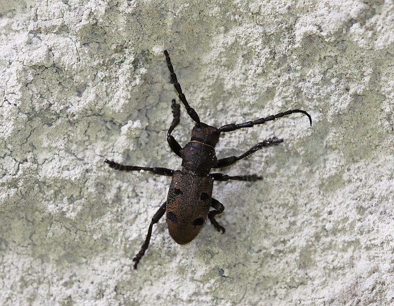 A longhorn beetle (Morimus sp?) from Greece (Vikos Gorge)