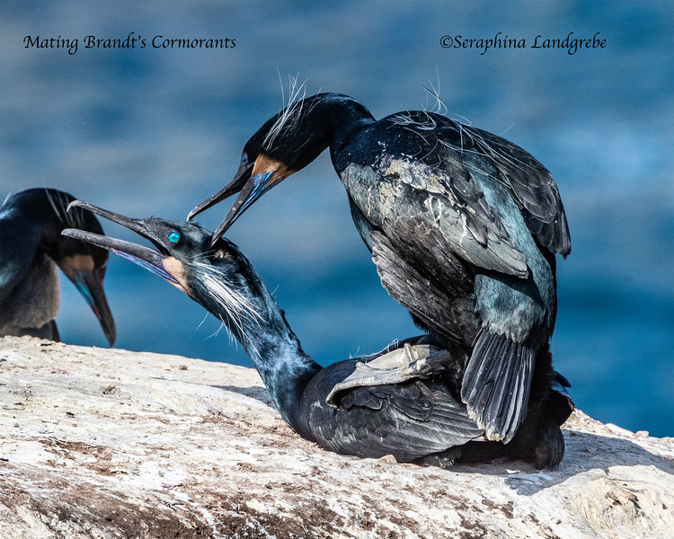 _DSC3582Mating Brant's Cormorants.jpg