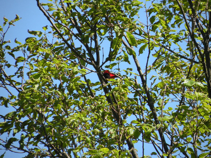 Scarlet Tanager in the trees at Lost Overlook Brady Mtn is a wonderful place for birding. Cumberland Trail TN