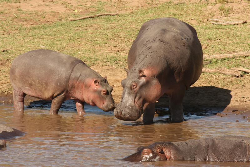 Baby and mother hippopotamus.