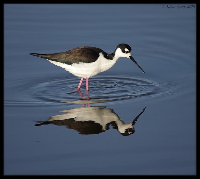 Black-necked Stilt, San Elijo Lagoon, San Diego County, California, March 2010