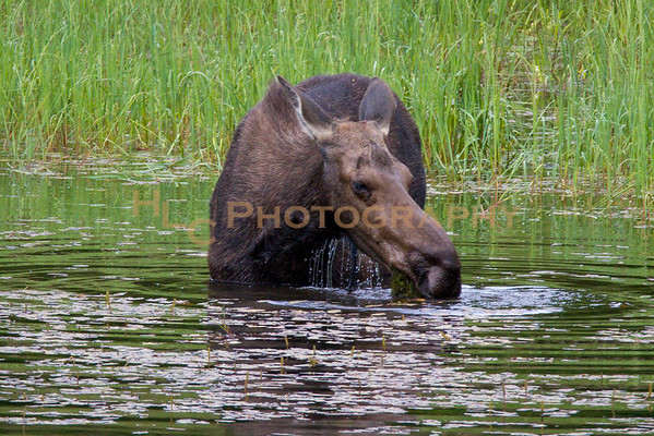 07/02/18 Cow moose in Cataldo Idaho