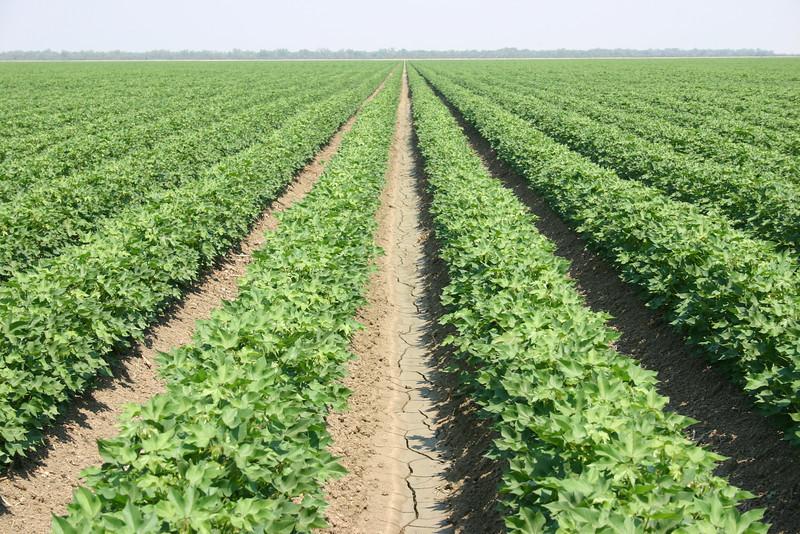 Cotton fields 3