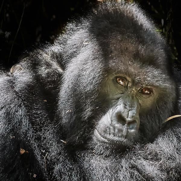 Rwanda Gorillas 2016 Hirwa group