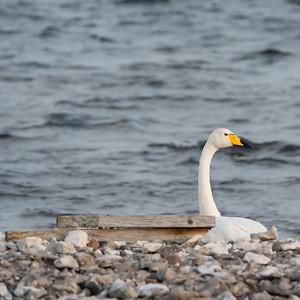 027-05 Cygnus cygnus, Sångsvan, Whooper Swan