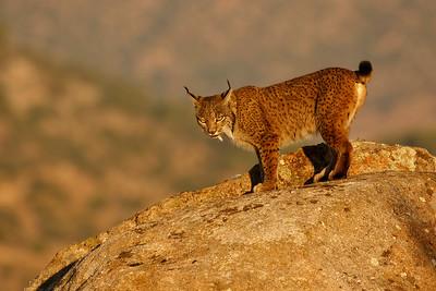Iberian Lynx (Lince ibérico)
