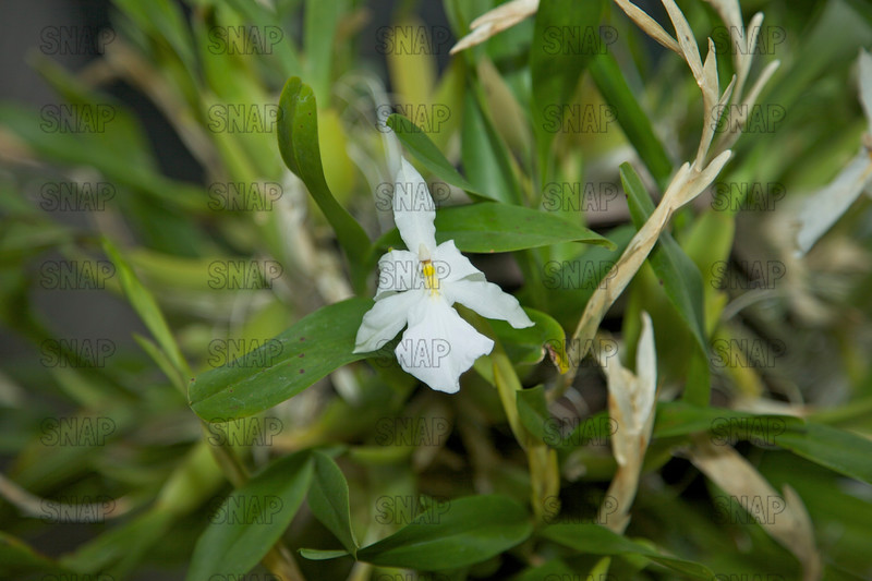 The Outstanding Miltonia (Miltonia spectabilis var. alba) - South America, was on exhibit at the White River Gardens in Indianapolis, IN.  The orchids were part of the Wheeler Orchid Collection at Ball State University in Muncie, IN.