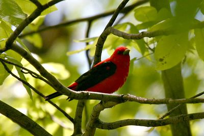 Cardinals, Grosbeaks, & Tanagers