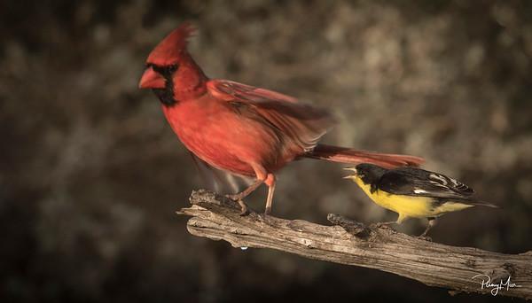 CardinalGoldfinch x 2lLL.jpg