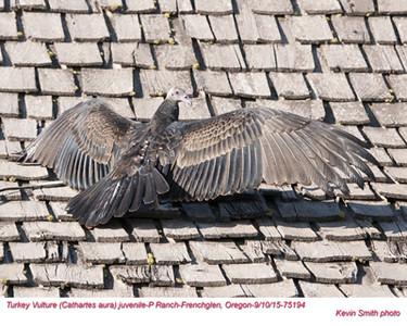 Turkey Vulture J75194.jpg