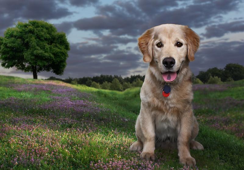Golden-chien-1.jpg