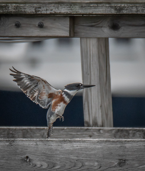 Belted Kingfisher lifting up
