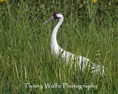 Crane, Whooping