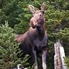 Moose - Kananaskis