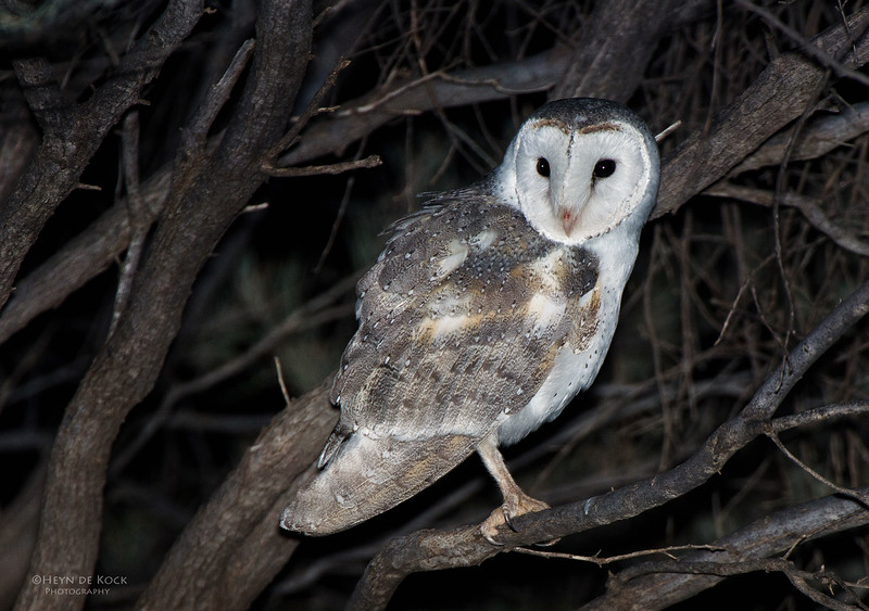 Eastern Barn Owl, Newhaven Station, NT, Aus, Jun 2012.jpg