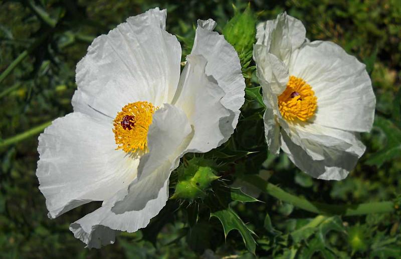 White-Poppies.jpg