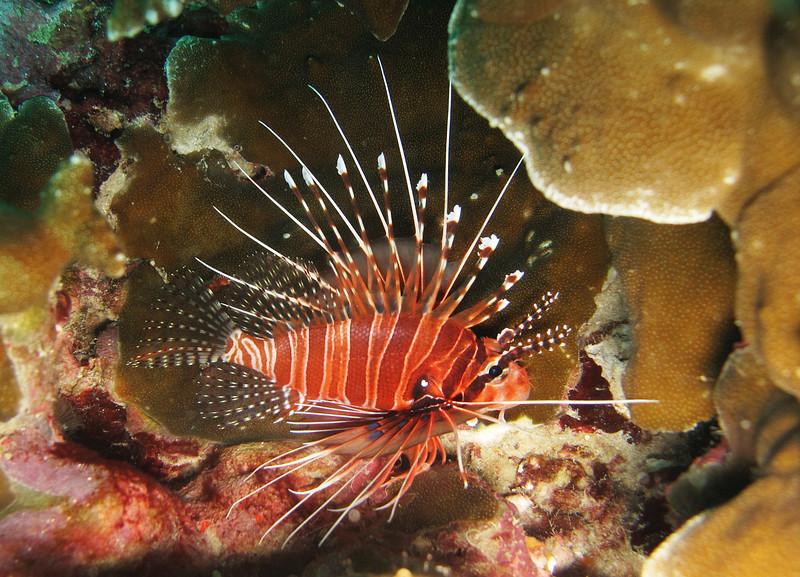 IMG_7509Ar_Ragged-finned firefish (Pterois antennata).JPG