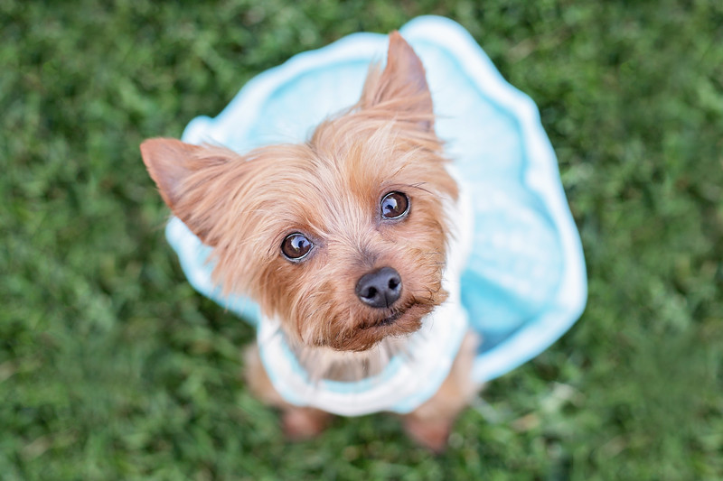 Yorkshire Terrier in Blue Dress