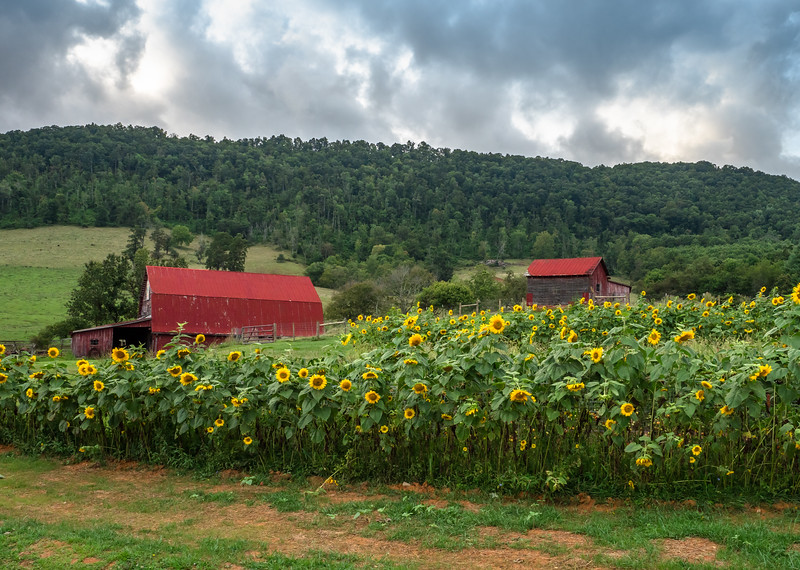 09 Aug 25 Barns and sunflowers b cropped-1.jpg
