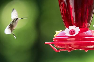 Hummingbirds (July22)