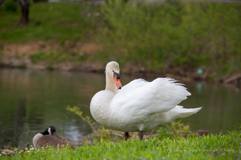 mute swan signed-18.JPG