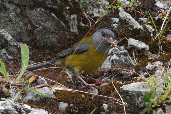 Cometocino Patagonico, Patagonian Sierra Finch