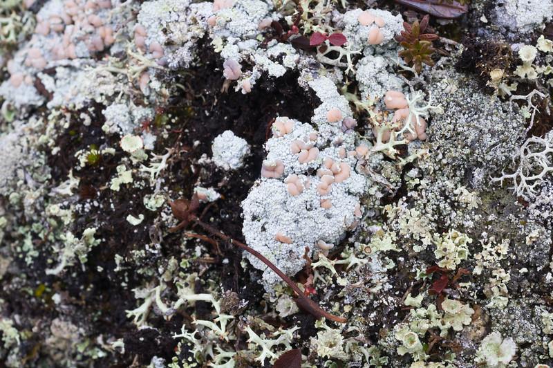 Lichen and Moss in Kilpisjärvi II