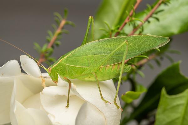 Caedicia simplex - Common garden katydid