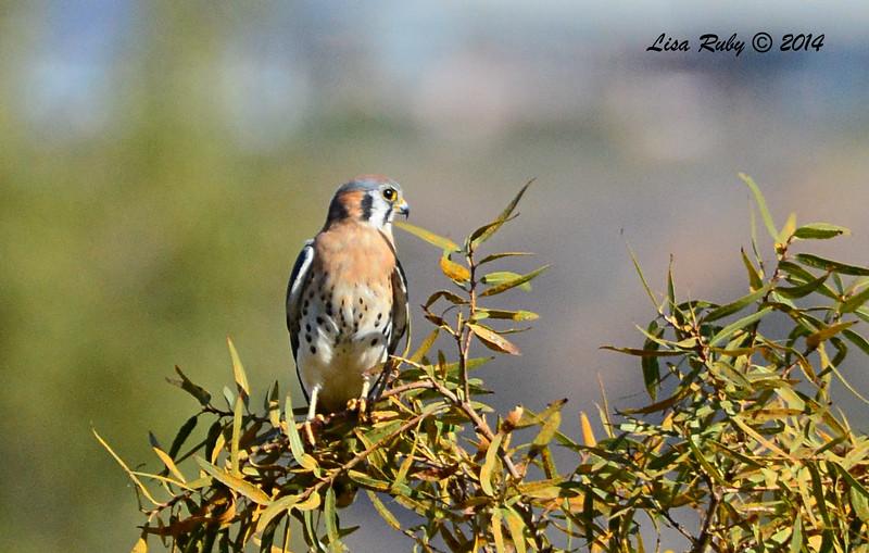 American Kestrel - 11/16/2014 - Lindo Lakes