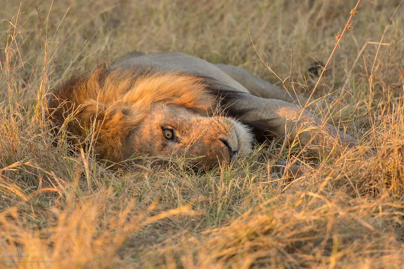 Botswana_lion_one_eye_social.jpg