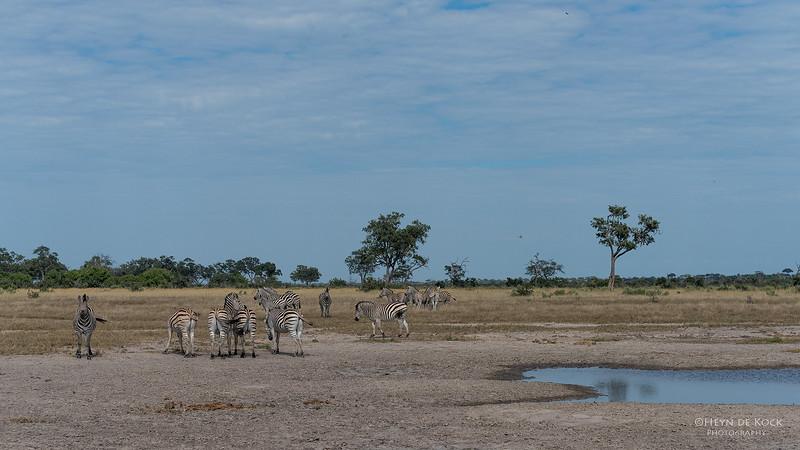Burchell's Zebra, Savuti, Chobe NP, Botswana, May 2017-1.jpg