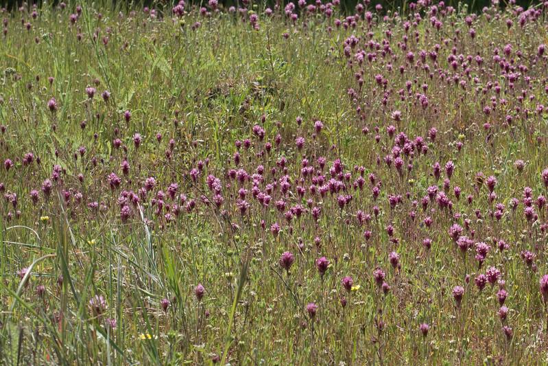 Edgewood_Park_wildflowers-27.jpg