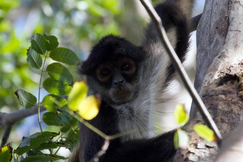 Central American Spider Monkey 1 at Jardin Botanical Garden, Puerto Morelos, Quintana Roo, Mexico (March 01, 2008).psd