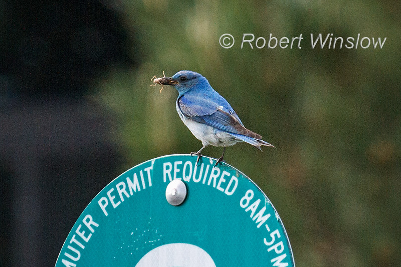 Male, Mountain Bluebird