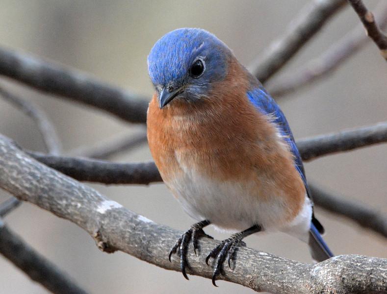 2016 Blue bird extreme closeup .jpg