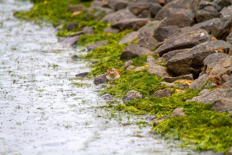 Least Sandpiper Beaver Bay Sewage Ponds Lake County MN IMG_1599.jpg