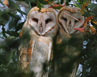 Barn Owls 2010