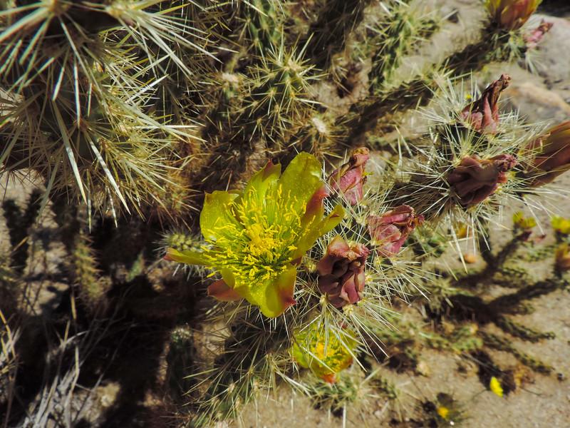 Gander's Buckhorn Cholla  (Cylindropuntia ganderi) CACTACEAE