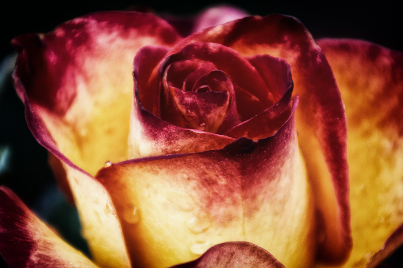 mar 27 - rose.jpg