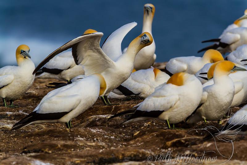 Australasian Gannet, Cape Gannet