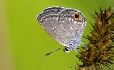 Gossamer Wings (Lycaenidae)