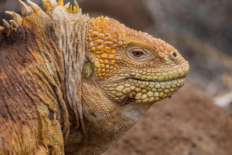 Land Iguana - Galapagos
