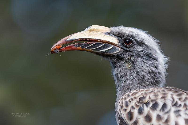 African Grey Hornbill, f, Savuti, Chobe NP, Botswana, May 2017-3.jpg