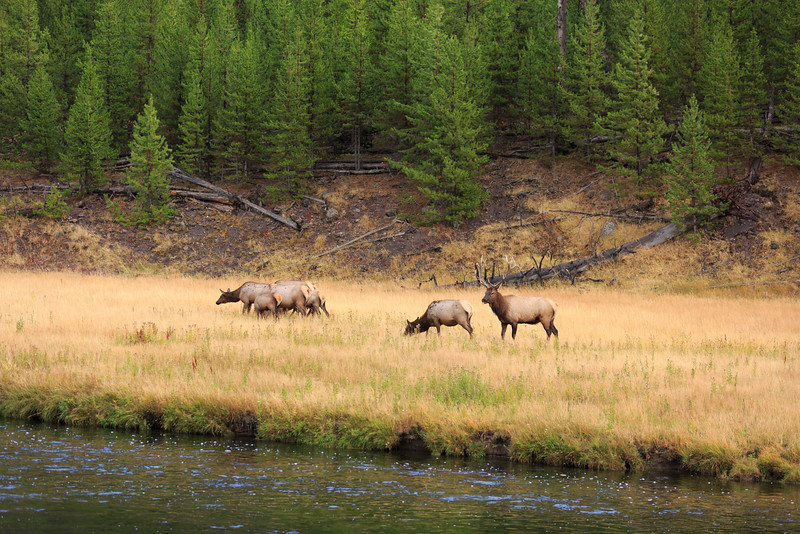 Elk Rut along the Madison River 007