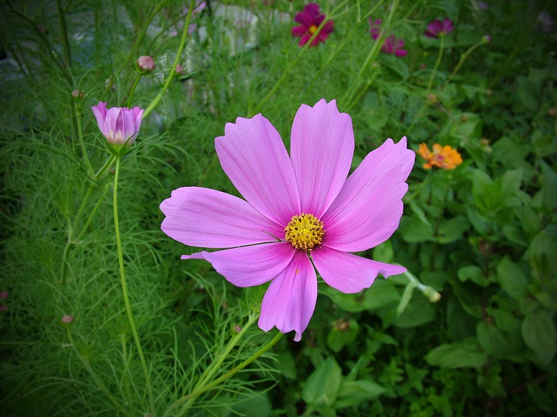 Cosmos - Pink