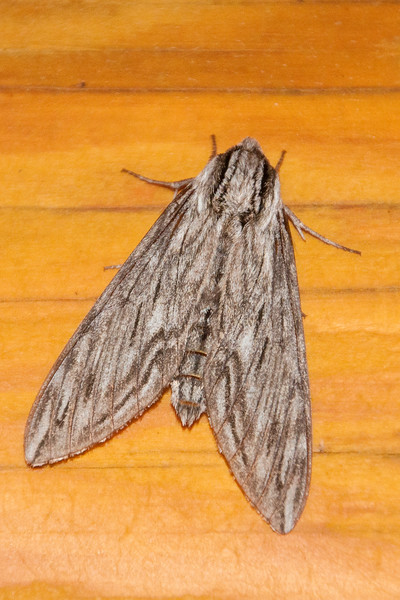 Canadian Sphinx-(Sphinx canadensis)- Dunning Lake - Itasca County, MN