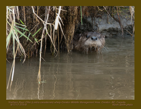 Northern River Otter J27518.jpg