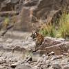 Tiger cub in Ranthambhore