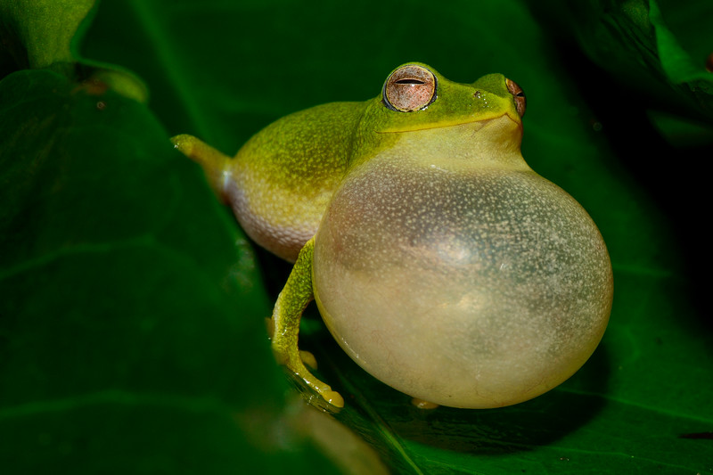 Jayarami-bush-frog-Valparai.jpg
