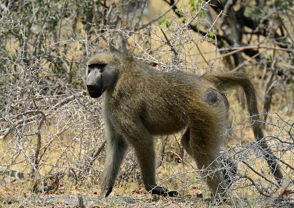 Beerbaviaan; Chacma baboon; Chacma; Papio ursinus; Bärenpavian